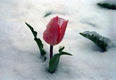 6933_Frozen-red-tulip-winter-in-the-middle-of-spring